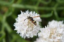 Abella a la cerca de menjar – Bee in search of food