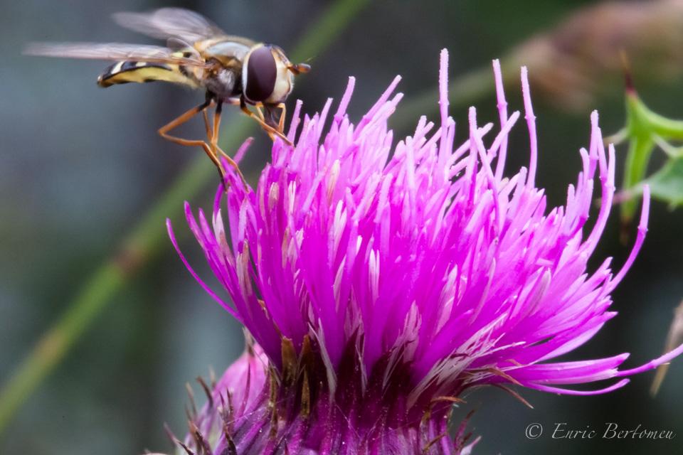 L'Abella del Pedraforca – Pedraforca's bee