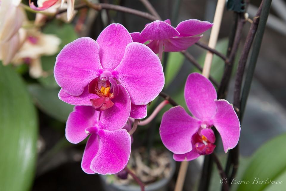L'Orquídia, quina elegància.. – L'Orquídia, which elegance……